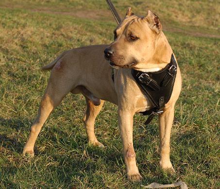 leder geschirr für Amerikanischen pitbull kaufen
