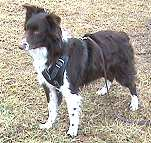 Protection/Attack Leather Dog Harness for Australian Shepherd