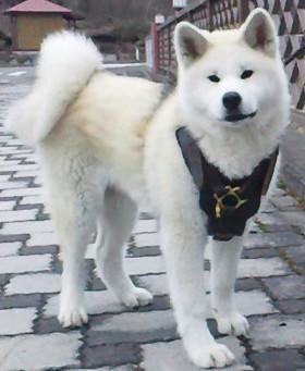 Handgefertigtes Hundegeschirr fuer Husky