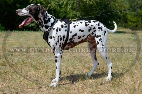 Dalmatian harness for travel with dog