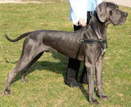 Tracking & Walking Leather Padded Dog Harness for Great Dane