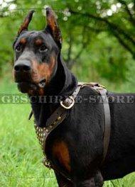 Hunde Geschirr Leder mit Nieten | Ledergeschirr für Dobermann