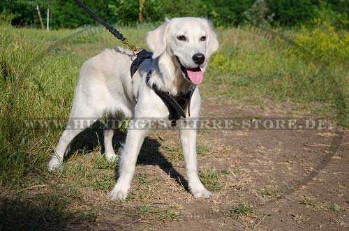 Golden Retriever dog harness of leather with padding
