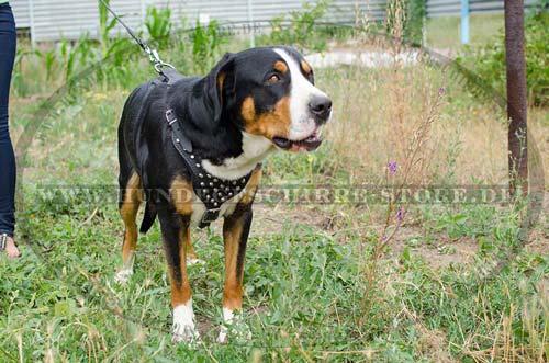 Grosser Schweizer Sennenhund Geschirr