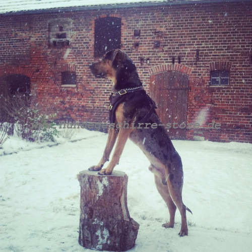 Louisiana Catahoula Leopard Dog Geschirr flexibel