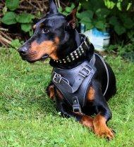 Hundegeschirr Leder für Sporthunde und Hundesport!
