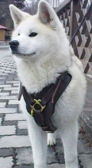 Padded Dog Harness Leather | Husky Harness for Sport