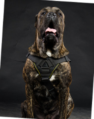 Dog Harness Nylon for Cane Corso | Dog Sport Harness