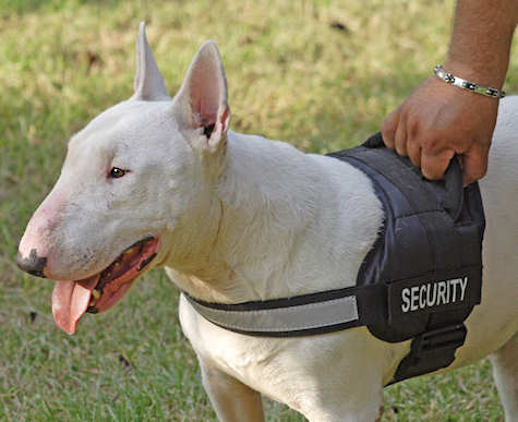Bull Terrier harness with patches