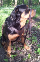 Leather Dog Harness for Agitation and Attack for Rottweiler