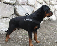 Everyday All Weather Dog Harness for Rottweiler