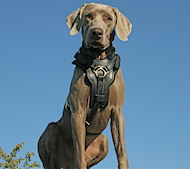 Padded Leather Harness for Weimaraner