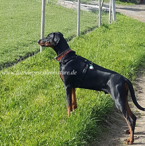 painted collar flamme doberman pinscher buy