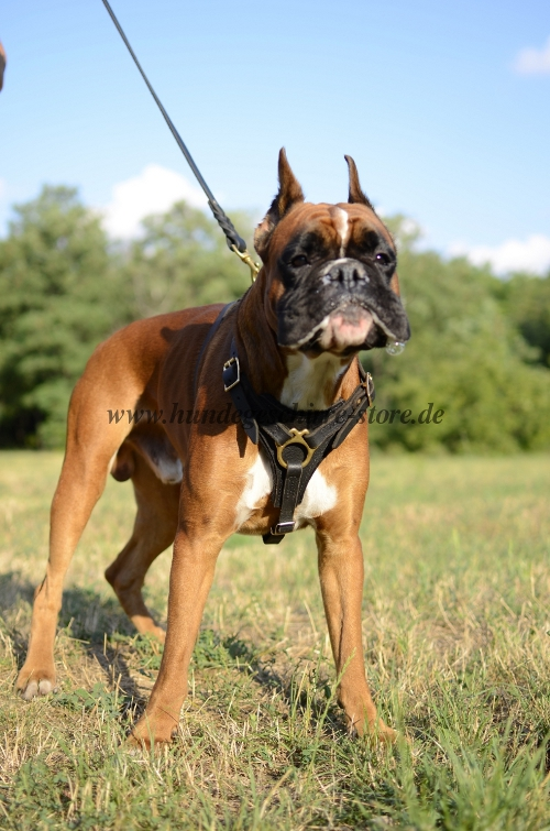 Boxer walking harness of leather