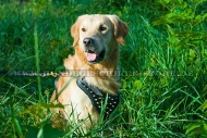 Hundegeschirr aus Leder mit Messing-Spikes für Golden Retriever