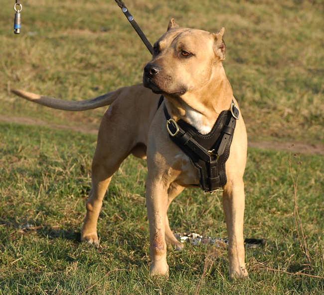 Edles Hundegeschirr aus Leder