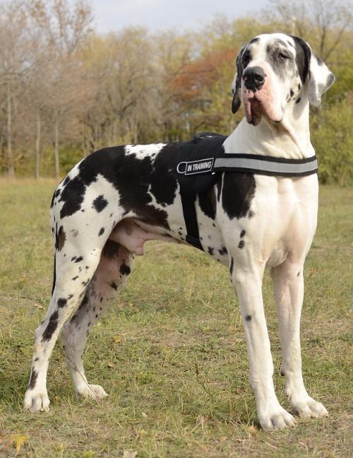 Deutsche Dogge Rasse