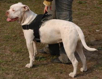 harness for American Bulldog Training