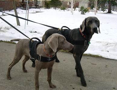 Hundegeschirr aus Nylon für Weimaraner