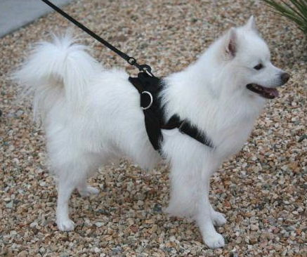 /images/large/american-eskimo-dog-harness-small-nylon-harness-es_LRG.jpg