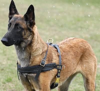 Mali Dog Breed