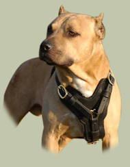 Padded Leather Harness for Pitbull Exclusive Luxury Handcrafted
